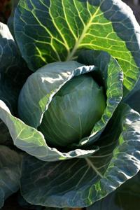 GEOF-cabbage