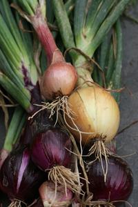 GEOF onions