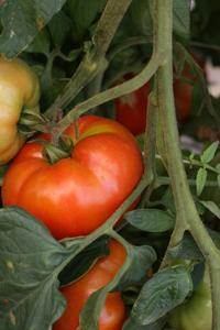 GEOF tomatoes
