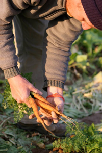 picking carrots GEOF