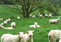 sheeponpasture